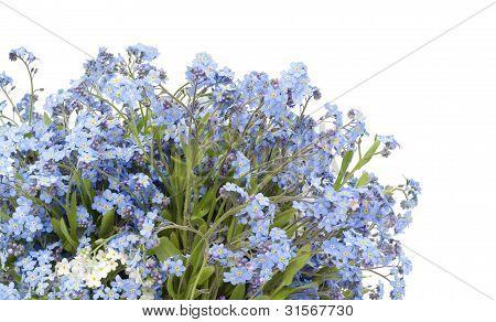 Forget-me-nots (myosotis) Plant Postcard
