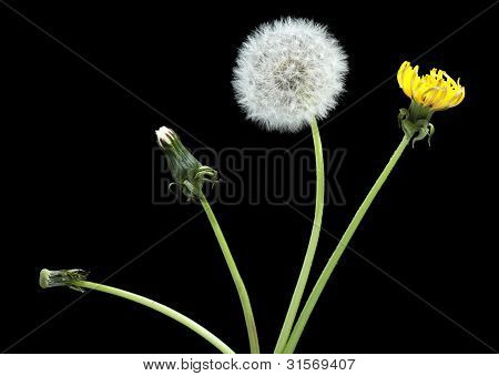 Stage Of Development Dandelion