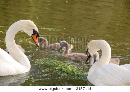 Swan Parenting Team