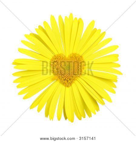 Margarita amarilla con el corazón en el centro