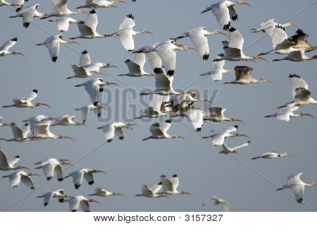 White Ibis In Flight Over A Pond