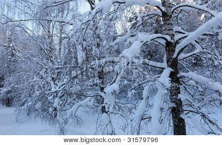 A Snowy Leafless Birch Tree