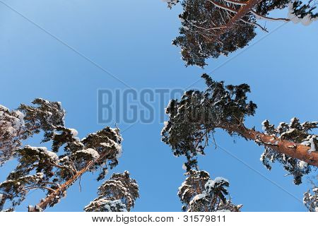 A Snow Covered Pine Trees