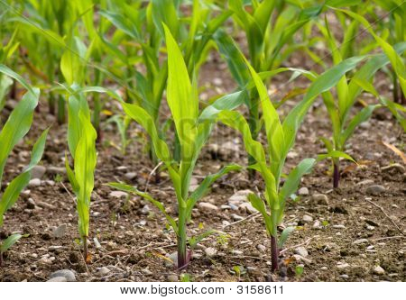 Young Corn Crops Stalk