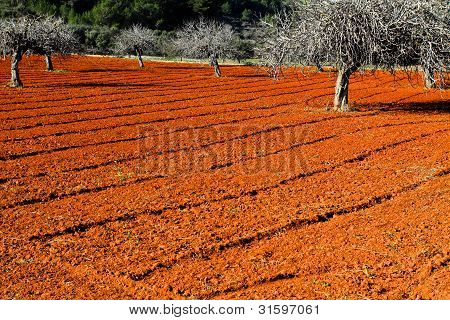 Red Cultivated Field In Ibiza, Balearic Island, Spain. Hdr Image