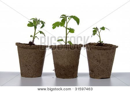 Seedlings In Peat Pots