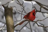 pic of cardinal-bird  - Cardinal sitting in a tree in the forest after a winter snowstorm - JPG