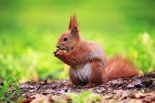 Cute And Furry Squirrel With The Nut Is Sitting On The Ground In Spring City Park poster