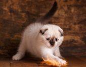 Scottish Fold Kitten. Fluffy Kitten Is Playing poster