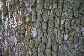 Tree Bark Texture. Natural Backgrounds, Textures - Bark Of The European Pear Tree. A Close Up View O poster