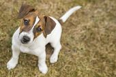 Three-month Puppy Breed Jack Russell Terrier Walking On The Lawn. Dog Breeding. Pets And Care. poster