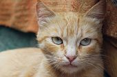 Cropped Shot Of Red Tabby Cat. Animals, Pets Concept.  Red Stray Cat, Close Up. poster