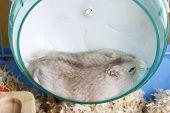Dwarf Furry Hamster Lies In Plastic Wheel, Side View poster