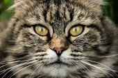 Cat Muzzle Close Up. Fluffy Cat With Beautiful Eyes. Cat Portrait poster
