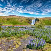 Beautiful Scenery Of The Majestic Skogafoss Waterfall In Countryside Of Iceland In Summer With Lupin poster