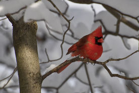 image of cardinal-bird  - Cardinal sitting in a tree in the forest after a winter snowstorm - JPG