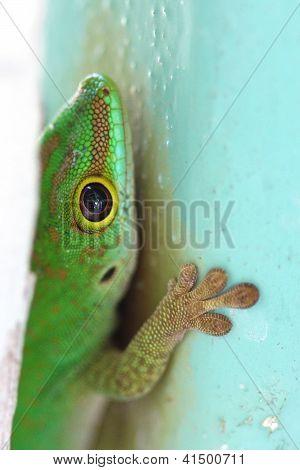 Gecko Closeup 5