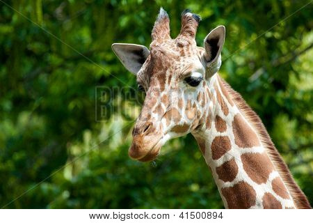 Giraffe Portrait 3