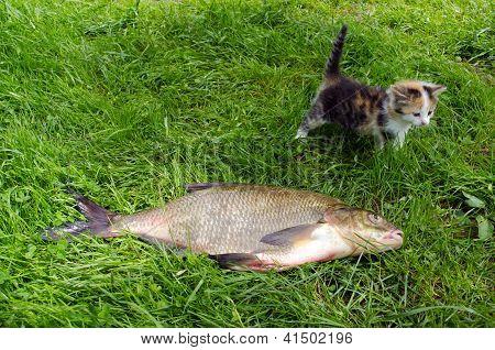 Sargo enorme lago peixe pegar pouco Tabby gatinho
