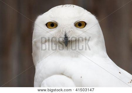 Wary Snowy Owl