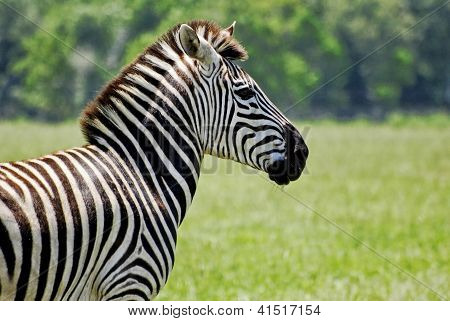 Adult Zebra Profile