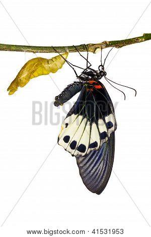 Female Great Mormon Butterfly