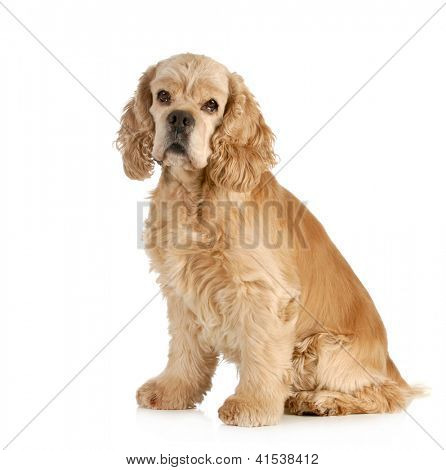 Picture or Photo of Senior dog - american cocker spaniel sitting ...