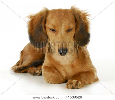 dog resting - long haired miniature dachshund laying down resting isolated on white background