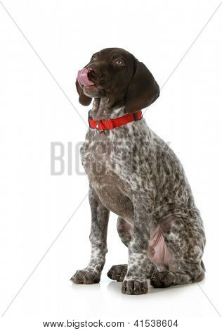 cute puppy- german short haired pointer puppy licking lips isolated on white background
