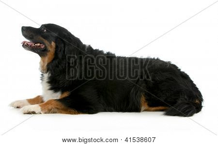 bernese mountain dog laying down looking up isolated on white background
