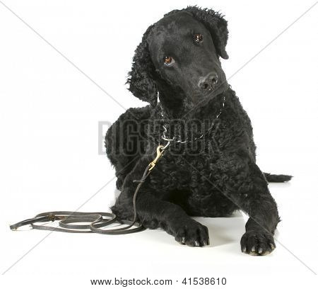 curly coated retriever on a leather leash and choke collar isolated on white background