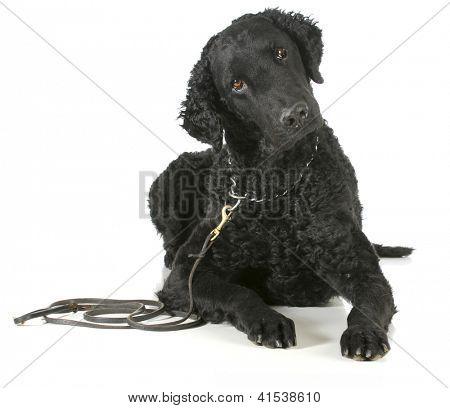 perro perdiguero revestido rizado en una correa de cuero y collar estrangulador aislado sobre fondo blanco