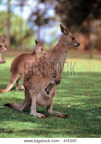 Kangaroo On Grass