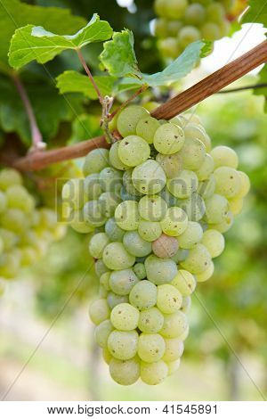 Ripe Riesling white vine grapes in vineyard in Germany