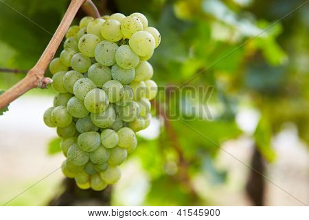 Ripe grapes for Riesling white wine in vineyard in Germany