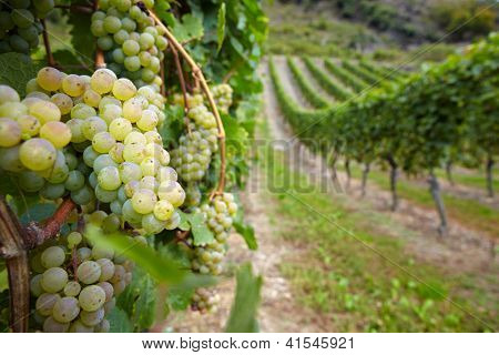 Vineyard with ripe white vine Riesling grapes in Germany