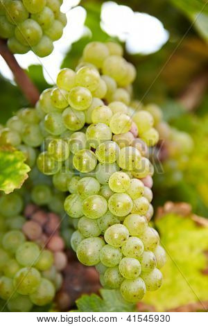 Ripe Riesling white wine grapes in autumn in Germany