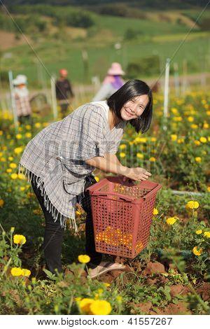 Woman harvesting Marigold flowers, Mae Sot, Thailand