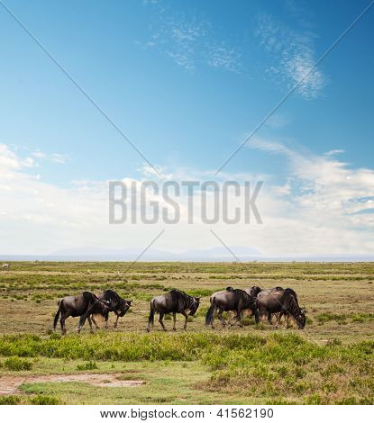 Wildebeests herd, Gnu on savanna. Safari in Serengeti, Tanzania, Africa