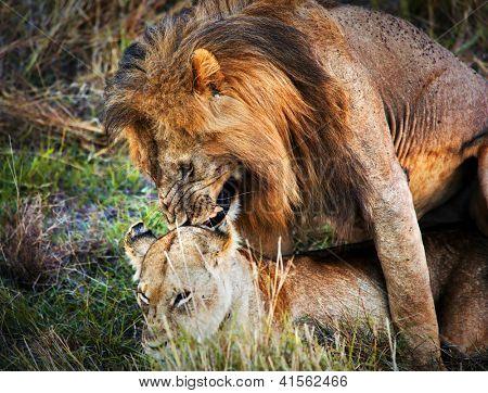 A couple of male lion and female lion copulation on savanna. Safari in Serengeti, Tanzania, Africa