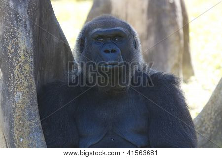 Low-land Gorilla