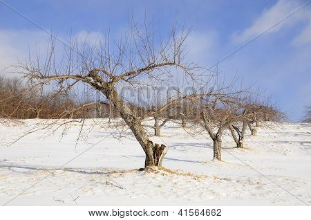 Snow covered apple trees in an Orchard, Quebec, Canada