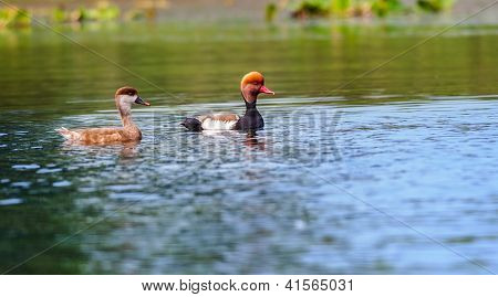 Two Red-crested Pochards,migratory, bird, Diving duck, Rhodonessa rufina, swimming lake, copy space