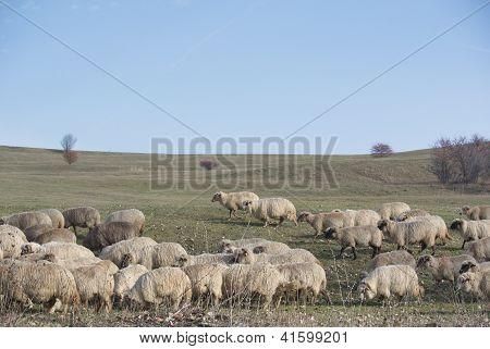 sheeps in the country near Viscri, Transylvania
