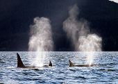 foto of orca  - Pod of Resident Orcas surfaces in Favorite Channel - JPG