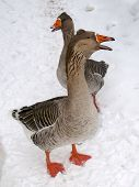 picture of snow goose  - A pair of geese walking in the snow - JPG