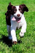image of happy dog  - Happy dog running in grass - JPG
