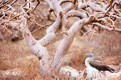 stock photo of boobies  - Blue footed booby resting under the tree at Galapagos island of  North Seymour - JPG