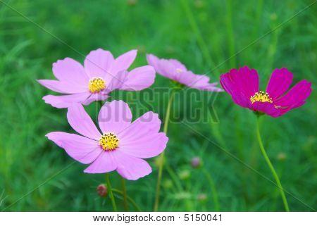 Cosmos Bipinnatus Cav.,asteraceae