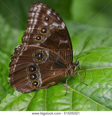 Blue Morpho butterfly - Morpho peleides